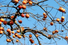 Japanese-Persimmon-fruits