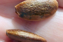 Japanese-Persimmon-seeds