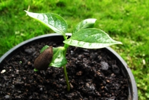 Japanese-persimmon-seedlings