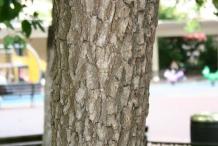 Japanese-Persimmon-bark