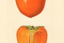 Japanese-Persimmon-illustration