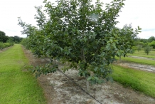 Japanese-Persimmon-tree