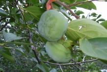 Unripe-Japanese-Persimmon-fruit