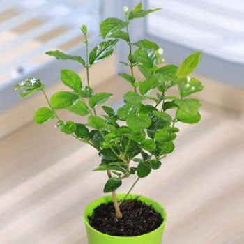 Jasmine-plant-grown-on-the-pot