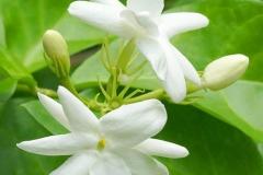 Flower-of-Jamine