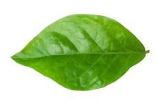 Leaf-of-jasmine