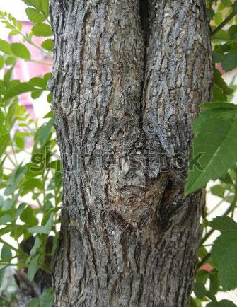Bark-of-Java-apple-plant