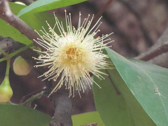 Flower-of-Java-apple-plant
