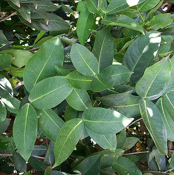 Leaves-of-Java-apple