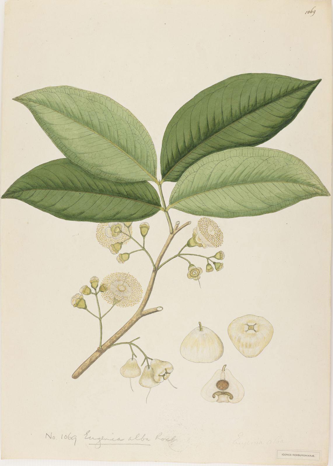 Plant-illustration-of-Java-apple