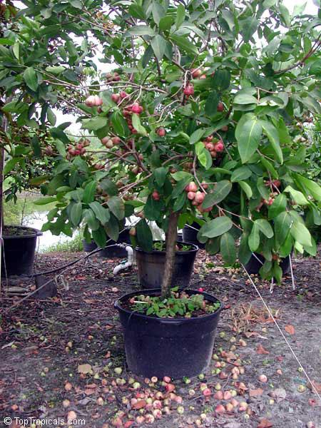 Small-Java-apple-plant
