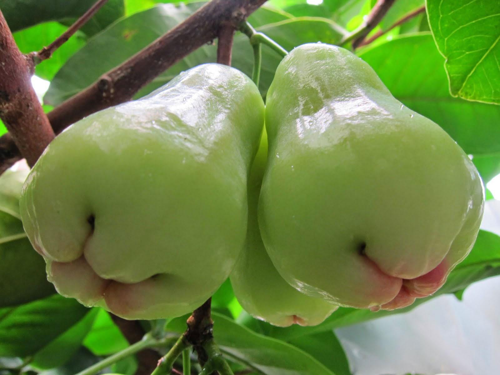 Unripe-Java-apple