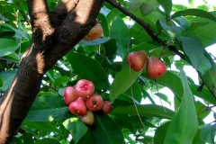 Java-apple-Fruits-on-the-tree