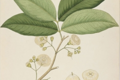 Plant-illustration-of-Java-apple
