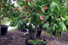 Small-Java-apple-plant