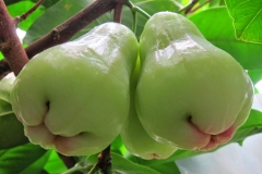 Unripe-Java-apple