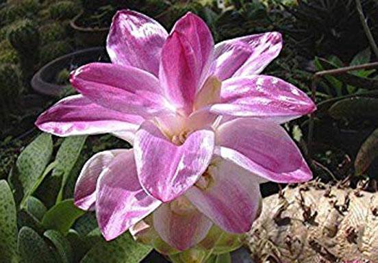 Flower-of-Javanese-Turmeric