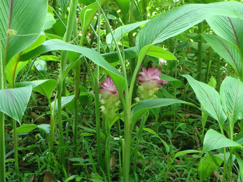Javanese-Turmeric-plant-growing-wild