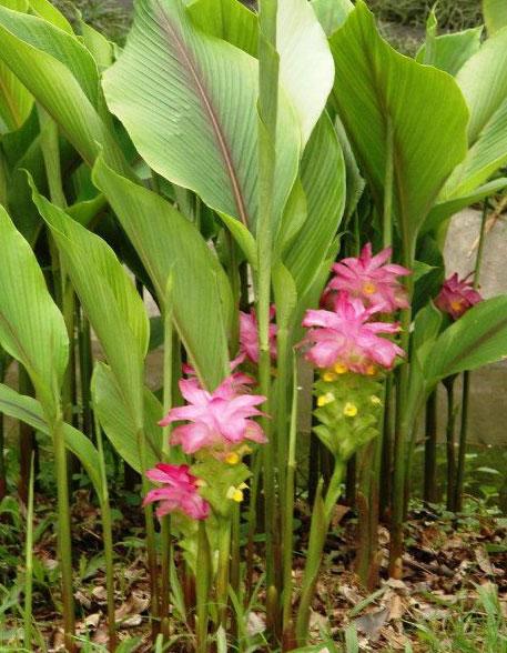 Javanese-Turmeric-plant