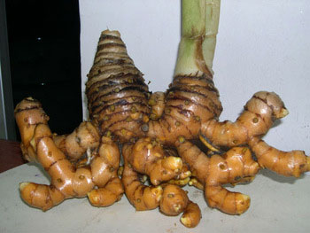 Javanese-Turmeric