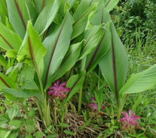 Leaves-of-Javanese-Turmeric