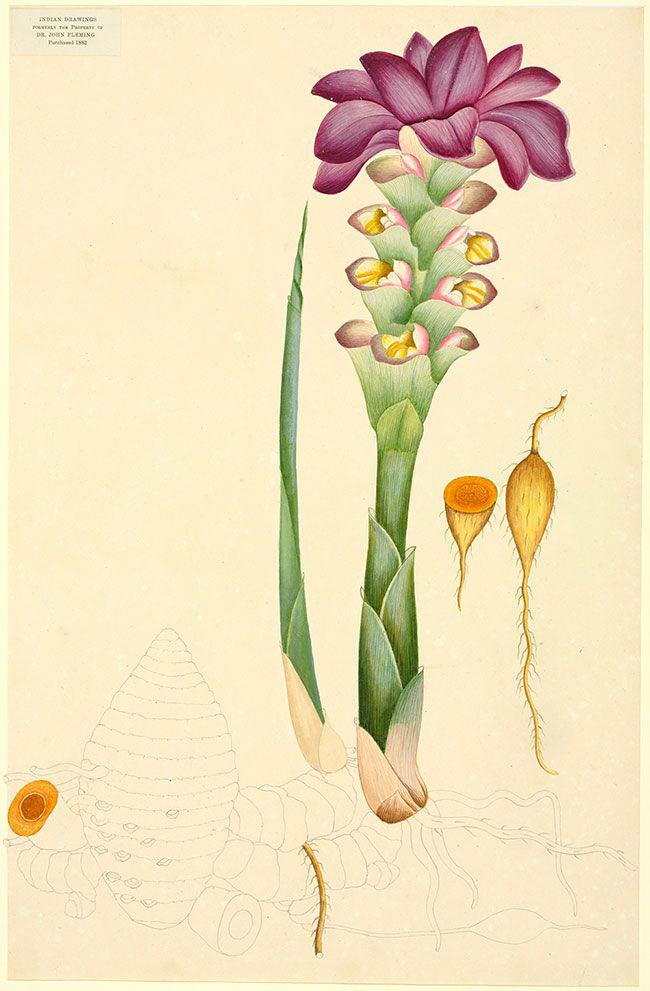 Plant-Illustration-of-Javanese-Turmeric