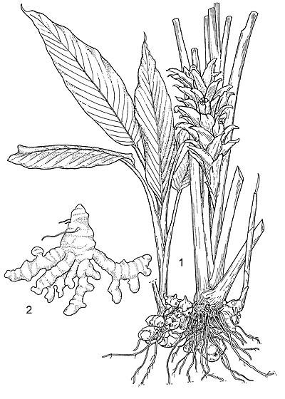 Sketch-of-Javanese-Turmeric