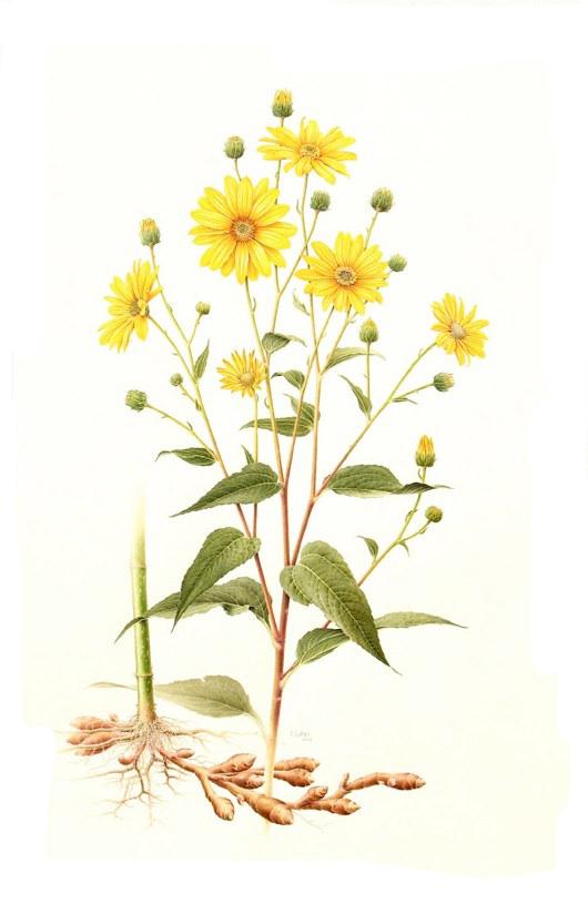 Plant-illustration-of-Jerusalem-artichoke