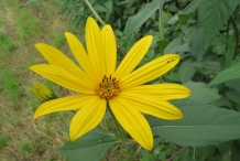 Close-up-flower-of--Jerusalem-artichoke