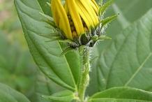 Flower-bud-of-Jerusalem-artichoke