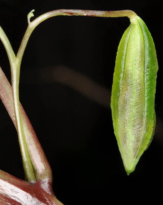 Fruit-of-Jewelweed
