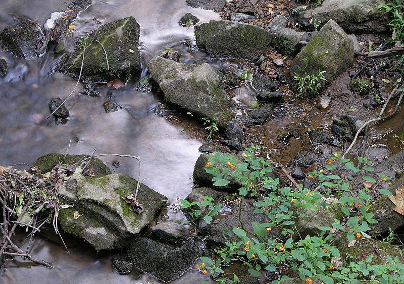 Jewelweed-growing-wild