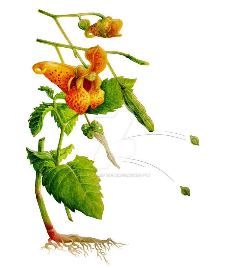 Plant-illustration-of-Jewelweed
