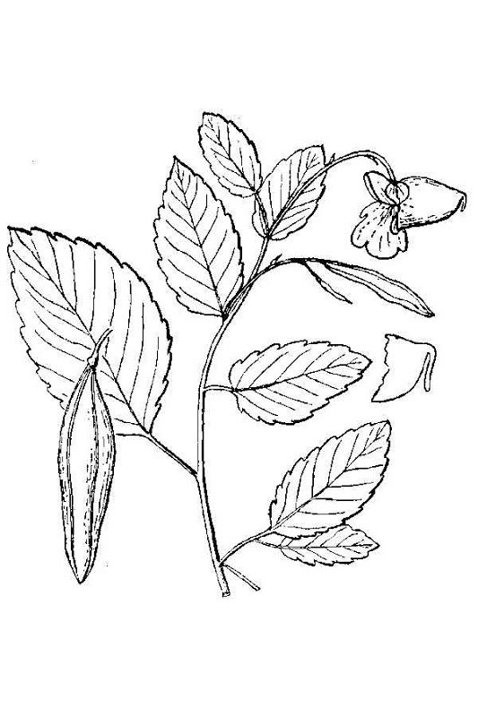 Sketch-of-Jewelweed