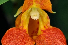 Closer-view-of-flowers-of-Jewelweed