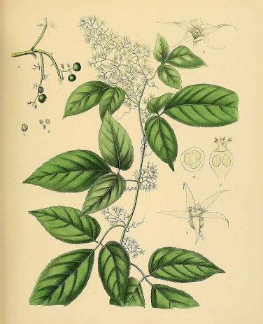 Plant-Illustration-of-Jiaogulan
