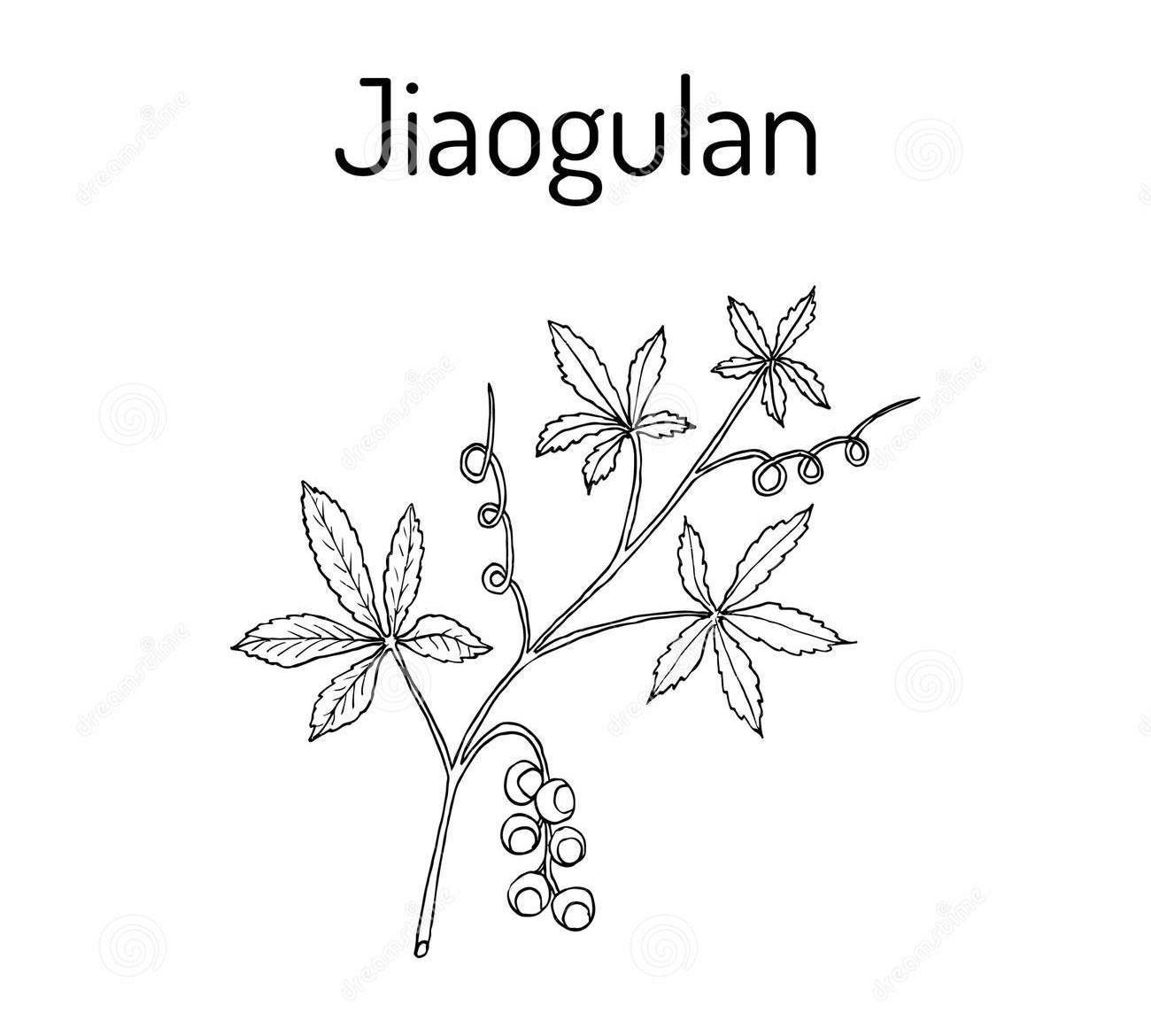 Sketch-of-Jiaogulan