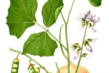 Plant-illustration-of-Jicama