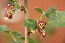 Jostaberry-flowers
