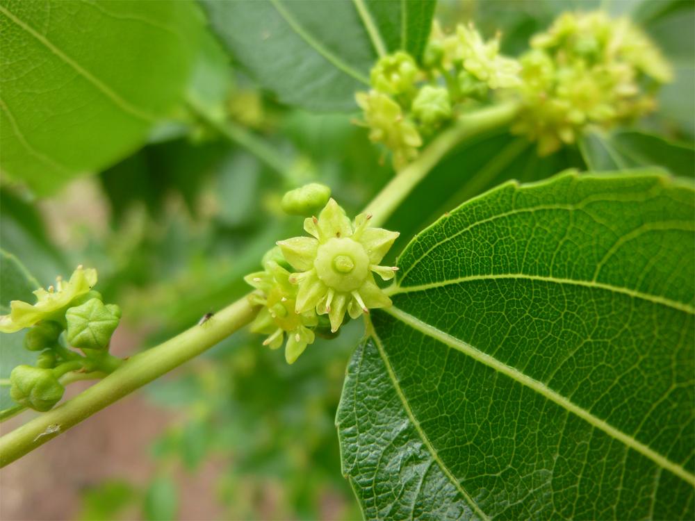 Jujube-flowers