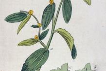 Illustration-of-Jujube-plant