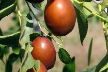 Jujube-fruit-brown