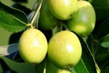 Jujube-fruit-green