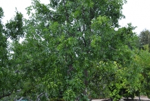 Jujube-tree