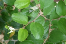Leaves-of-Jujube-plant