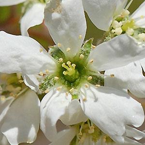 Closer-view-of-flower-of-Juneberry