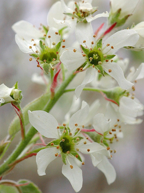 Flowers-of-Juneberry