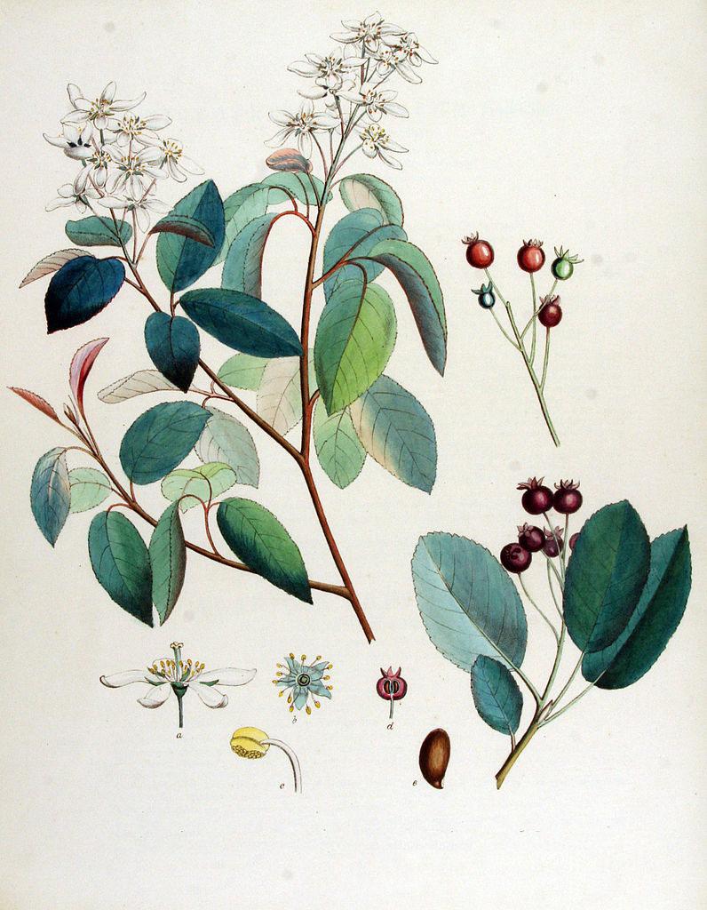 Plant-Illustration-of-Juneberry