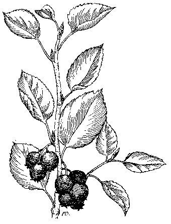 Sketch-of-Juneberry