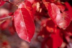 Fall-leaves-of-Juneberry